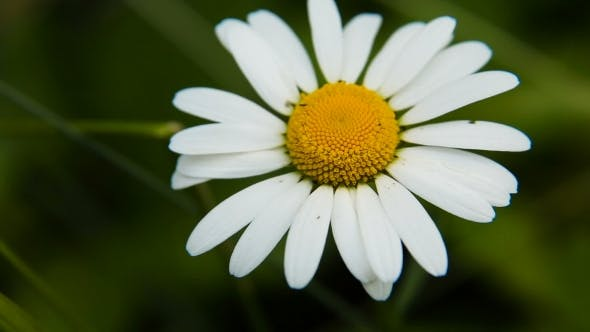 Thumbnail for Daisy in the Garden on a Summer Day.