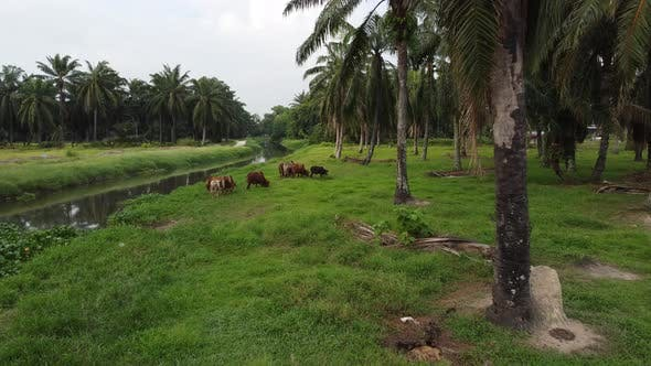 Cows grazing grass in oil palm plantation