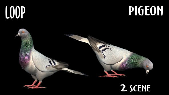 Cover Image for Animal Pack - Pigeon - 2 Scene