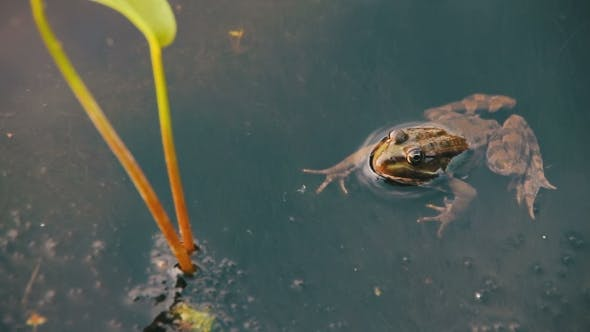 Frog In The River Near The Lilies