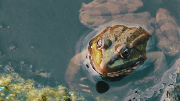 Thumbnail for Frog In The River