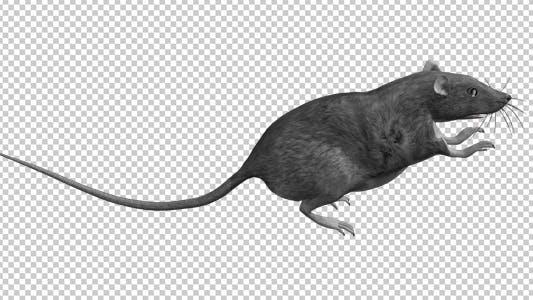 Thumbnail for Rat - Run Jump Loop - Side View