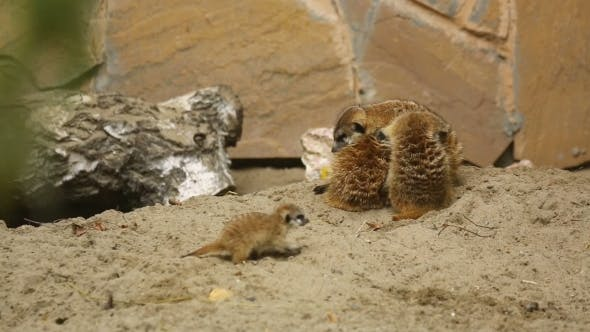 Thumbnail for Family Of Meerkat Playing Outdoor