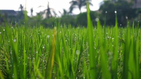 Close Up of Green Grass on Meadow with Dew on It