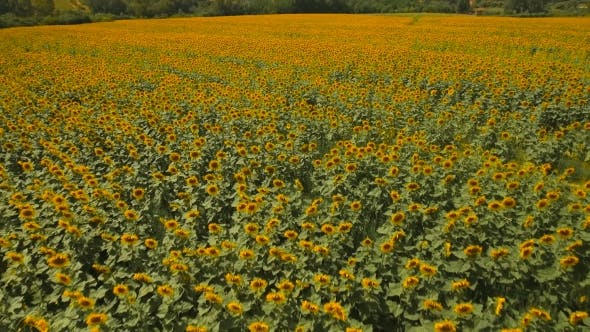 Thumbnail for Aerial View of Blooming Sunflower Fields