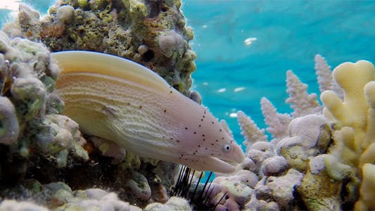 Thumbnail for Underwater Tropical Coral Reef with Geometric Moray