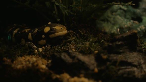 Tiger Salamander Exposed In Oceanarium
