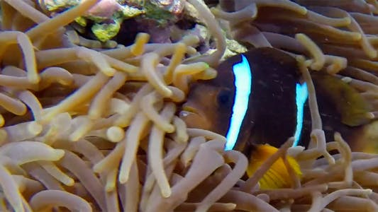 Thumbnail for Underwater Colorful Clownfish and Sea Anemones