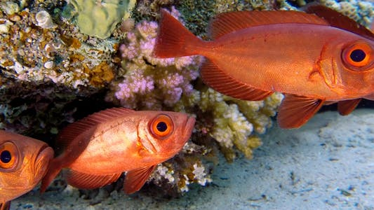 Thumbnail for Tropical Underwater Colorful Bigeye Fish