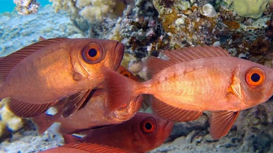 Thumbnail for Colorful Underwater Tropical Bigeye Fish