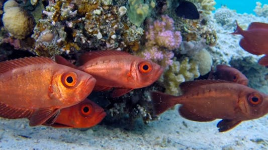 Cover Image for Underwater Colorful Tropical Bigeye Fish