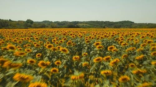 Yellow Sunflowers In Sunlight