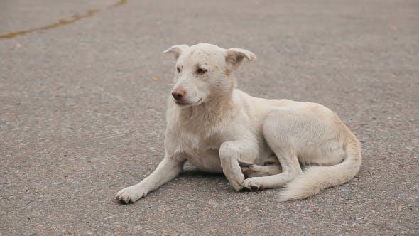White Homeless Dog On The Road