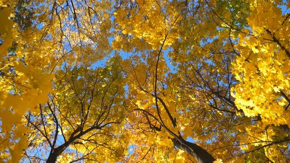 View To Tree Tops with Yellow Maple Leaves in Autumn Forest at Sunny Day. Crowns of Plants with Lush