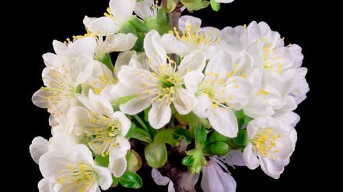 Cherry Blossom. White Flowers Blossoms on the Branches Cherry Tree