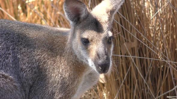 Agile Wallaby Buck Male Adult Alone