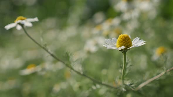 Thumbnail for Herbaceous plant  Matricaria recutita shallow DOF  4K 2160p 30fps UltraHD footage - Common Chamomile