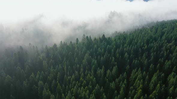 Cover Image for Fog At The Pine Forest At The Mountains