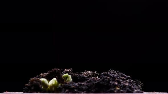Mung beans germination on black background