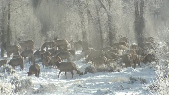 Thumbnail for Elk Adult Immature Herd Many Walking Moving Foraging Looking For Food in Winter Steam Vapor Breath