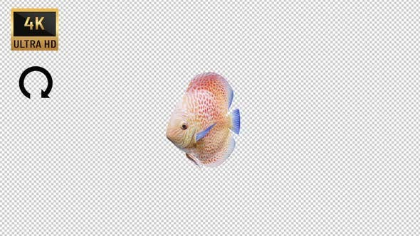 Discus Fish Front View