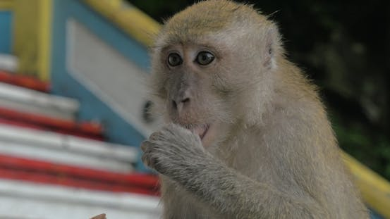 At Batu Caves, Malaysia Seen  Monkey