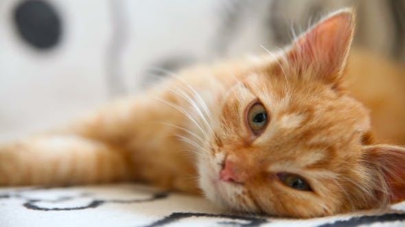 Thumbnail for Cute Ginger Kitty Comfortably Snuggles On Blanket In Bed