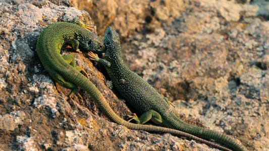 Thumbnail for Mating Season In Lizards