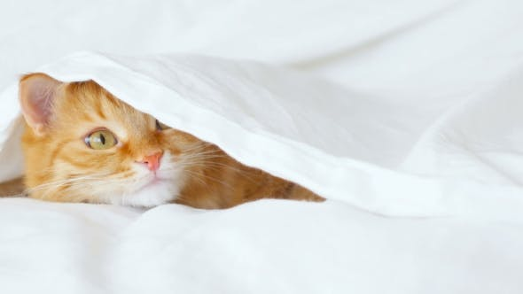 Thumbnail for Ginger Cat Hides In Bed Under a White Blanket. Fluffy Pet Is Going To Play.