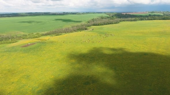 Thumbnail for Flying Over Green Field With Grazing Cows.