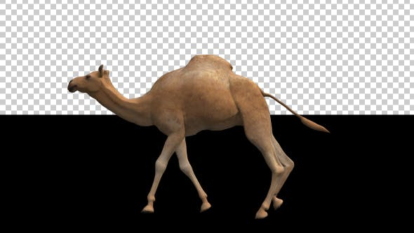 Camel Moving