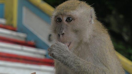 Thumbnail for At Batu Caves, Malaysia Seen  Monkey