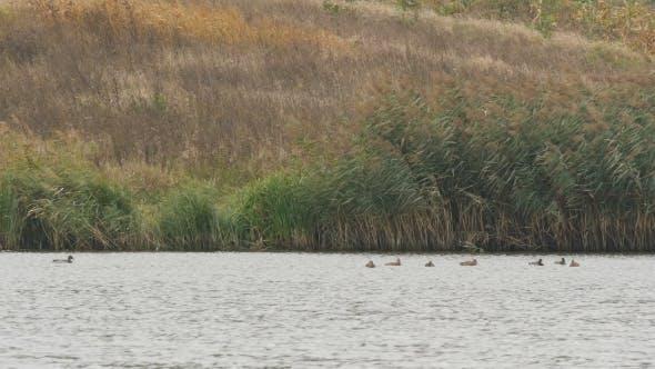 Thumbnail for Ducks on the Lake