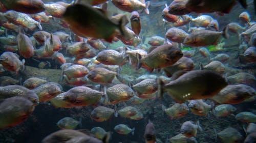 Piranha - Colossoma Macropomum