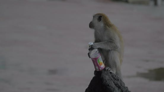 Thumbnail for In Batu Caves On Stone Sits a Monkey And Drinking From a Plastic Bottle