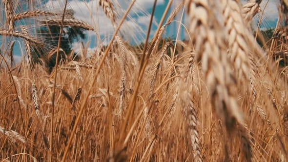 Thumbnail for Wheat Field And Spikelets