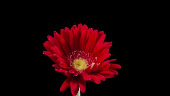 Thumbnail for Time Lapse Of A Red Daisy Opening