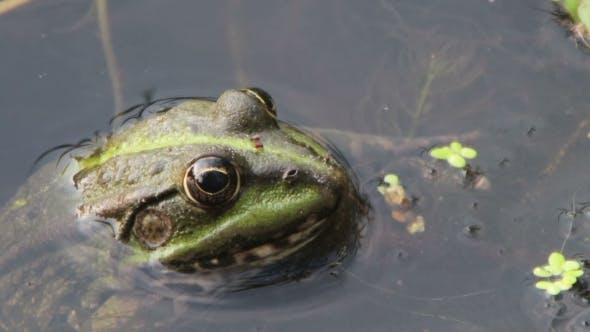 Thumbnail for Frog Sitting In The River