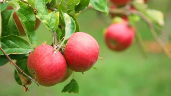 Thumbnail for Ripe Red Apples on a Tree