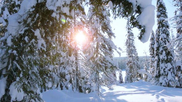 Thumbnail for Spruce Bent under the Weight of Snow