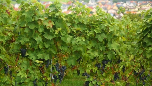 Cover Image for A Vineyard In The Village Eisingen
