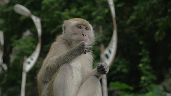 Thumbnail for Batu Caves, Malaysia Seen Monkey