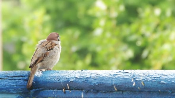 Thumbnail for Sparrow Sitting On The Railing Of The Balcony