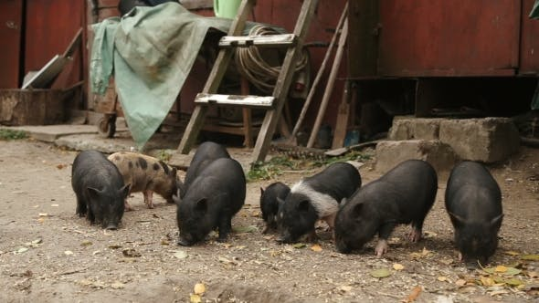 Thumbnail for Young Black Piglets On The Farm Hog.