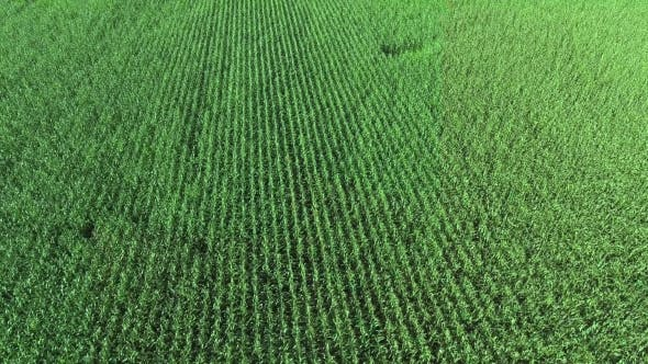 Thumbnail for Corn Field Aerial View