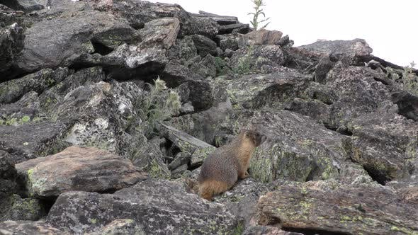 Thumbnail for Yellow-bellied Marmot Looking Listening on Rocks Rocky Mountain National Park