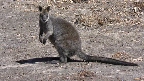 Swamp Wallaby Adult Alone Standing Looking Around