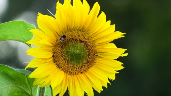 Thumbnail for Bumblebee On Sunflower