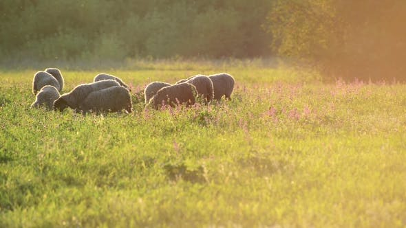 Thumbnail for Small Flock Of Sheep In a Pasture In Sunset Light
