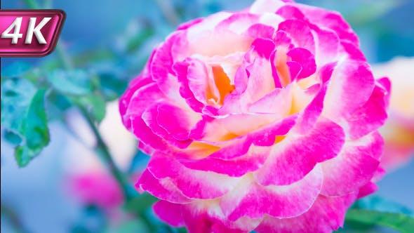 Unusual A Rose Bud